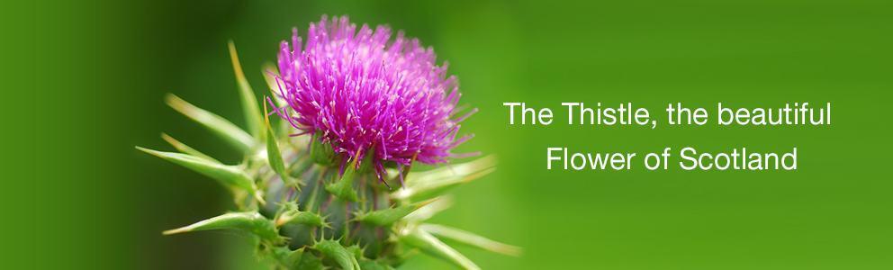 Celebrate the Scottish Thistle